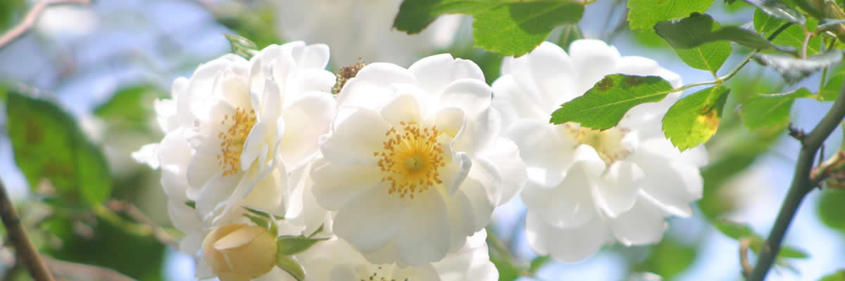 White roses in bloom in Amore's gardens