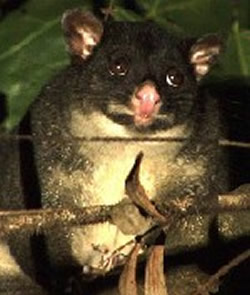 Possums and other wildlife often visit our Tamborine accommodation.