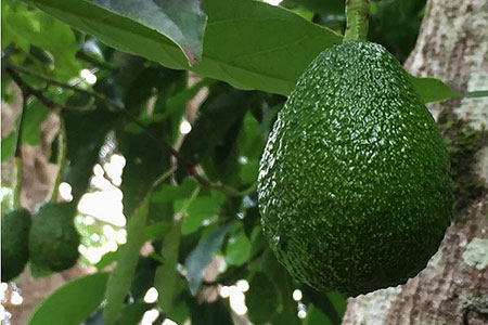 Mt Tamborine Avocados near Amore Bed and Breakfast - Mt Tamborine accommodation