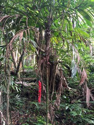 Walking stick palm Joalah National Park, Tamborine Mtn