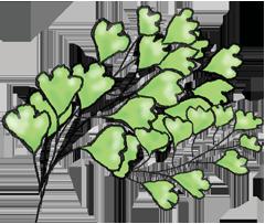 Illustration of maiden hair fern near Amore Bed and Breakfast accommodation on Mt Tamborine