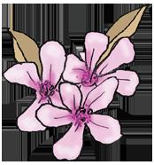 Purple Cherry Blossom - Tamborine National Park