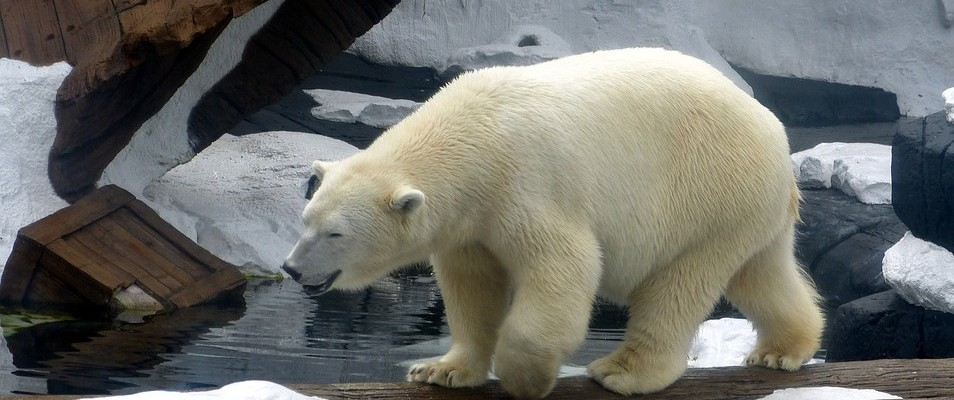 See the only Polar Bears in Australia