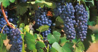 Scenic Rim Wineries